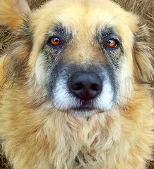 Cheyenne ~ (FurBabyLuv *Finally back Online) Tags: dog miracle story cheyenne shygirl shyshy goldenretrievershepherdmix