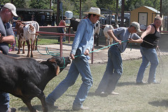 Hard to Overcome Stubborn (wyojones) Tags: texas texasriucefestival winnie ffa livestockshow steer bovine stubborn dust fight cowboys cowboyhat gimmecaps bluejeans jeans yearly calf pull tugofwar boots black brownears wyojones trf