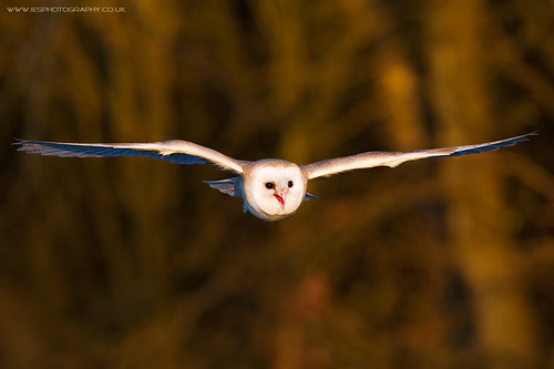 BWC Owl Day 4 - Barn Owl