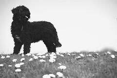 Tommy 048 (Amigrante Nnimo) Tags: dog chien cane fur hond tommy perro hund pelo badbreath peludo elmejoramigodelhombre malaliento muchopelo elmejoramigodestehombre