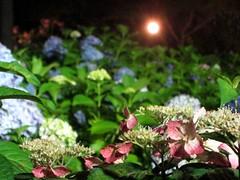 2007.6.17 三室戸寺 紫陽花ライトアップ2
