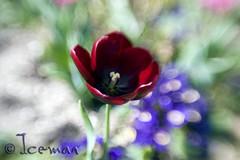Regent's Park Flower