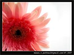 FLOWER-I (manaspattnaik) Tags: big a abigfave favea width48 height48 hrefhttpwwwflickrcomgroupsbigfaveimg srchttpstaticflickrcom602060347227c1e091cb5tjpg altabigfave