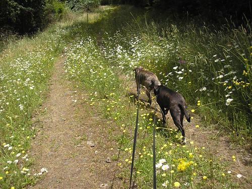 Dogs walking July 8