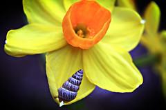 Jonquil-snail (Chapple.stephen) Tags: flower yellow shell snail jonquil naturesfinest anawesomeshot