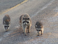 What's That Human Gonna Do? (Misty DawnS) Tags: road family baby nature animal animals babies critter mother missouri critters coolest raccoons naturesfinest raccooon thatsclassy raccoonfamily