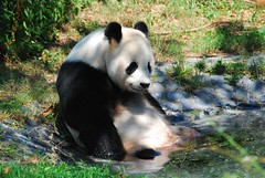 Tian Tian in the pool (Simba on 17th) Tags: bear panda nationalzoo giantpanda tiantian pandabear ailuropodamelanoleuca simbaon17th craigsalvas fcawinner