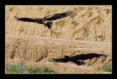 Spirit of an Eagle (fotofantasea) Tags: shadow bird nature flying wings photographer eagle wildlife australia wallart photograph newsouthwales 296 naturesfinest supershot wedgetaileagle mywinners platinumphoto anawesomeshot impressedbeauty superbmasterpiece avianexcellence diamondclassphotographer auselite naturewatcher excapture theperfectphotographer hollykempe