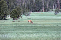 57-Elk, Yellowstone National Park (birdgal5) Tags: nikon yellowstonenationalpark wyoming elk tetoncounty nikkormatel 300mmf45h