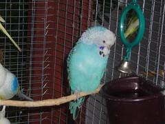 Sapphire 1 (Chris....) Tags: bird budgie eneerc