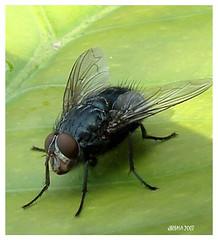 Fliege - fly