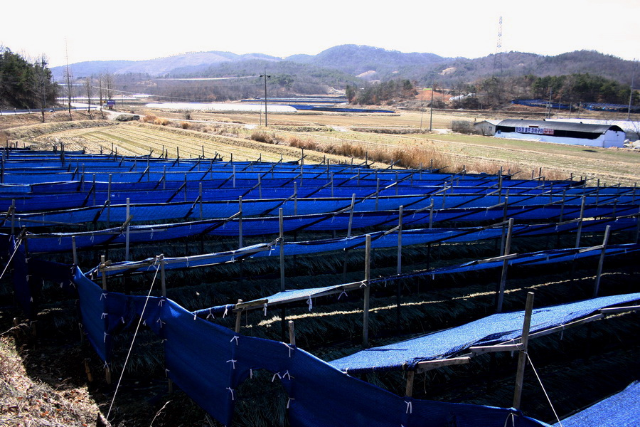 Ginseng farm