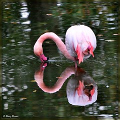 Greater Flamingo, Cologne Zoo~Could it be Love? ( Mary Moore) Tags: mywinners mywinnersfrontpage bestofmywinners blinkagain blinkagainsteppingup blinkagainsuperstars blinksuperstars