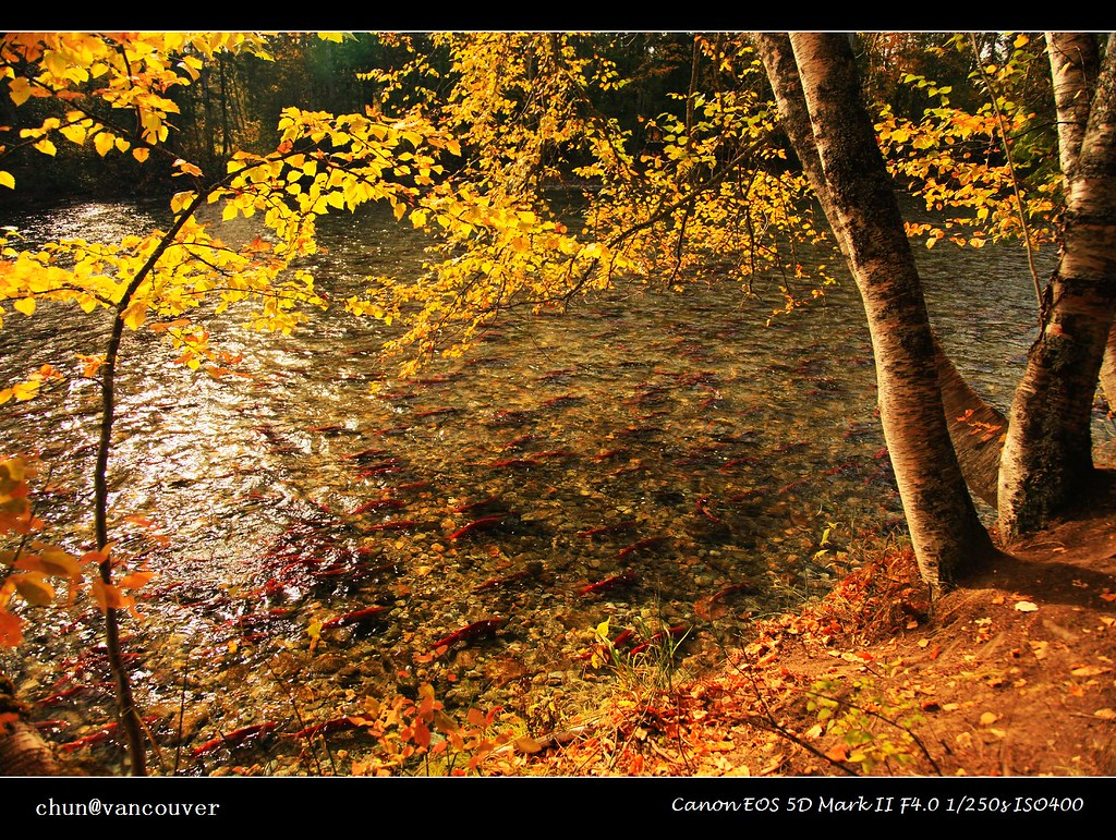 Red fish and yellow leaves