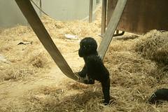 Spielendes Gorilla Baby / Playing gorilla baby