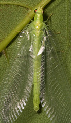 """Lacewing (f. Chrysopidae)(1) • <a style=""""font-size:0.8em;"""" href=""""http://www.flickr.com/photos/57024565@N00/564334641/"""" target=""""_blank"""">View on Flickr</a>"""