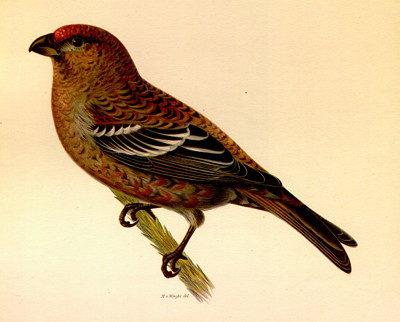 Pausfågel