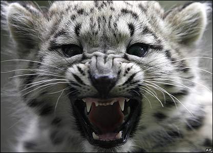 Барса Аскаи, который родился два с половиной месяца назад в Берлинском зоопарке, впервые показали фотографам.
