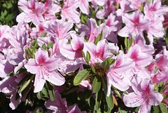 Azealeas in Bloom (isiguru) Tags: vegas pet flower hurricane westvirginia