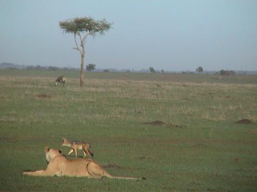 Mara Lion Jackal