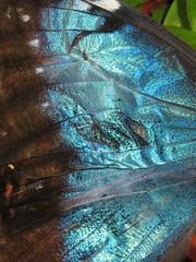 IMG_6477 (bluefootedbooby) Tags: animals closeup butterfly wings insects ali papillon borboleta morpho mariposa animali farfalla primopiano insetti pigmento lepidotteri iridescenza