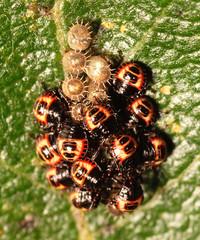 "Shieldbug Hatchlings • <a style=""font-size:0.8em;"" href=""http://www.flickr.com/photos/57024565@N00/808604152/"" target=""_blank"">View on Flickr</a>"