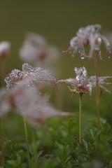 雨露に濡れるチングルマ