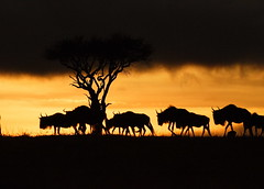 Migration (Lyndon Firman) Tags: africa sunrise canon eos kenya safari 1d mara migration wildebeest masaimara naturesfinest flickrsbest mywinners abigfave anawesomeshot colorphotoaward excellentphotographerawards natureoutpost bfgreatesthits