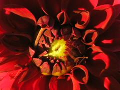 Dahlia Centre (Chrisser) Tags: flowers summer ontario canada nature garden gardening fourseasons macros closeups asteraceae dahlias naturesfinest flowerfactory olympuscamediac765