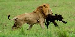 The Chase: Grab And Run! (Makgobokgobo) Tags: africa mammal buffalo lion botswana predator wma okavango duba panthera pantheraleo synceruscaffer okavangodelta wildlifemanagementarea syncerus dubaplains animalkingdomelite ng23 kwandowildlifemanagementarea