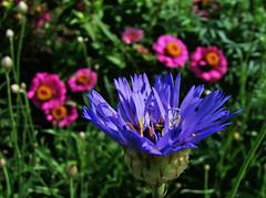 Catch the Light (vtpeacenik) Tags: pink flowers blue vermont august zinnia catananche coolestphotographers