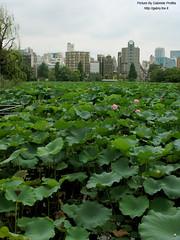 "Ueno park <a style=""margin-left:10px; font-size:0.8em;"" href=""http://www.flickr.com/photos/24828582@N00/1312540105/"" target=""_blank"">@flickr</a>"