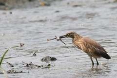Squacco and Frog (Alastair Rae) Tags: birds romania squaccoheron ardeolaralloides ardeola danubedelta interestingness252 i500 taxonomy:binomial=ardeolaralloides