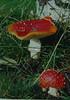 Fly Agaric mushroom (Shandchem) Tags: mushroom fly fungi fungus agaric muscaria aminita