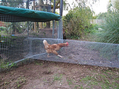 Chicken Run!