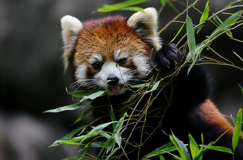 フリー写真素材, 動物, 哺乳類, 哺乳類(その他), レッサーパンダ,