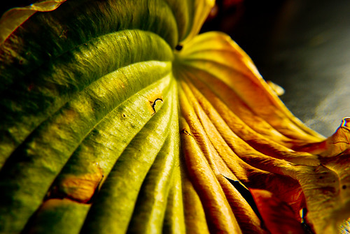 autumn colors assignment hosta leaf illustrating macro depth of field