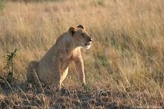 Calling ... (Sindrinn) Tags: africa wild nature mammal kenya wildlife lion safari mara savannah 70200 náttúra 2010 masaimara pantheraleo ljón predotor