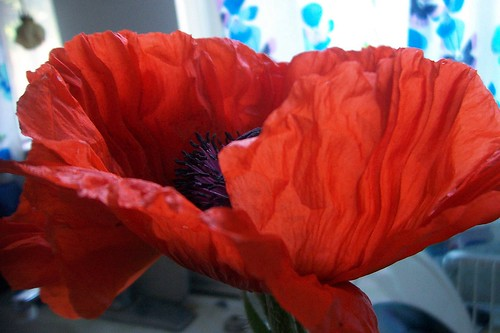 poppy study 3