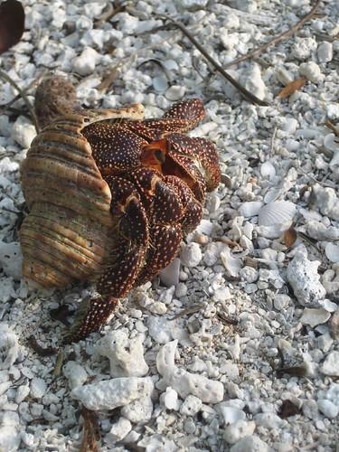 Makemo hermit crab