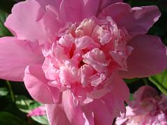 Pink Peony (Bluebird0927 (ON/OFF)) Tags: pink flowers peony excellence beautifulcapture impressedbeauty diamondclassphotographer thatsclassy