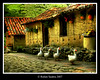 * G A N S O S (*atrium09) Tags: travel topf25 animals rural geese topf50 topf75 bravo searchthebest venezuela olympus scene goose merida topf150 topf100 hdr topf250 topf200 gansos blueribbonwinner firstquality photomatix supershot magicdonkey instantfave atrium09 mywinners anawesomeshot holidaysvacanzeurlaub 200750plusfaves goldenphotographer bratanesque rubenseabra bppslideshow alemdagqualityonlyclub 20tfreinoanimal