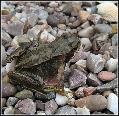 froggie copy