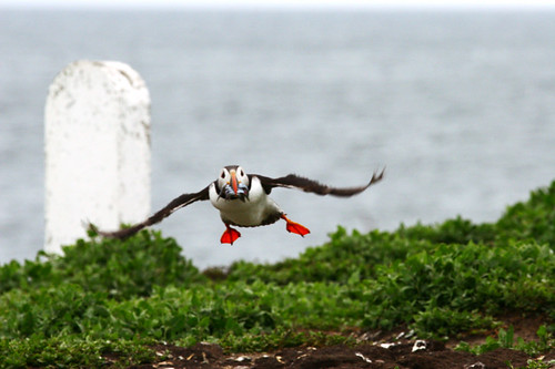 puffin nearly home