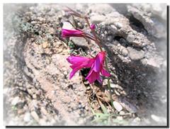 Wild gladiolus / Gladiolo silvestre - by . SantiMB .