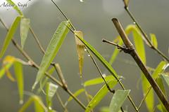Bamboo in rain (dickysingh) Tags: flowers wild india macro nature flora outdoor wildlife aditya uttaranchal singh dicky uttarakhand ranthambhorebagh lesserhimalayas bambooinrain adityasingh dickysingh ranthamborebagh theranthambhorebagh wwwranthambhorecom