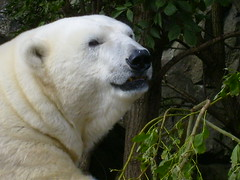 Mercedes the Polar Bear (The Mucker) Tags: bear animal zoo edinburgh polarbear