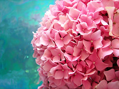 Pink Meets Blue (a m photography) Tags: pink flowers blue flower hydrangea flowersonblue bestofpink
