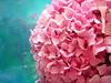 Pink Meets Blue (a m photography) Tags: pink flowers blue flower hydrangea flowersonblue bestofpink