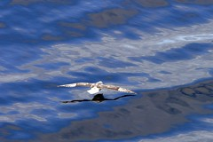 Northern fulmar gliding (Rick Derevan) Tags: nunavut baffin droh northernfulmar fulmarusglacialis dailyrayofhope dailyrayofhope2013